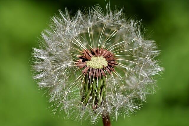 semillas del diente de elon